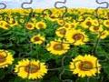 Sonnenblumen Jigsaw