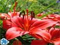 Wunderschöne rote Lilien Puzzle